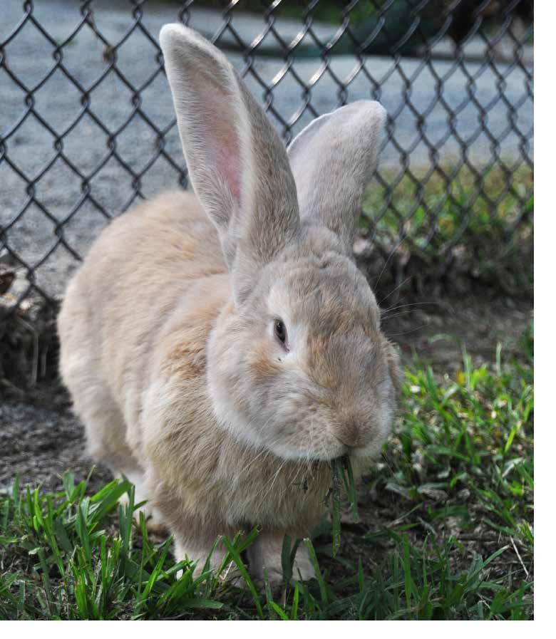 Giant Chinchilla Rabbit Continental Giant Rabb...
