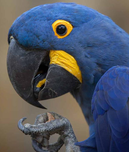 hyacinth macaw plumpton park zoo