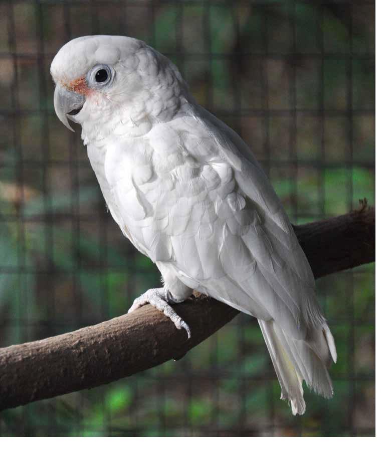 Goffin S Cockatoo Plumpton Park Zoo